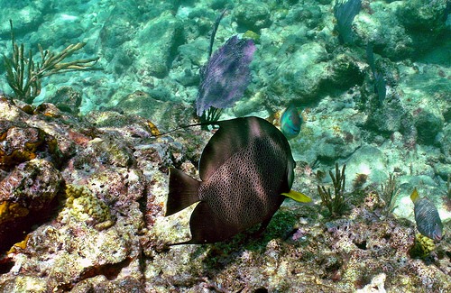 Gray Angelfish: Looe Key Reef, Florida Keys Na...
