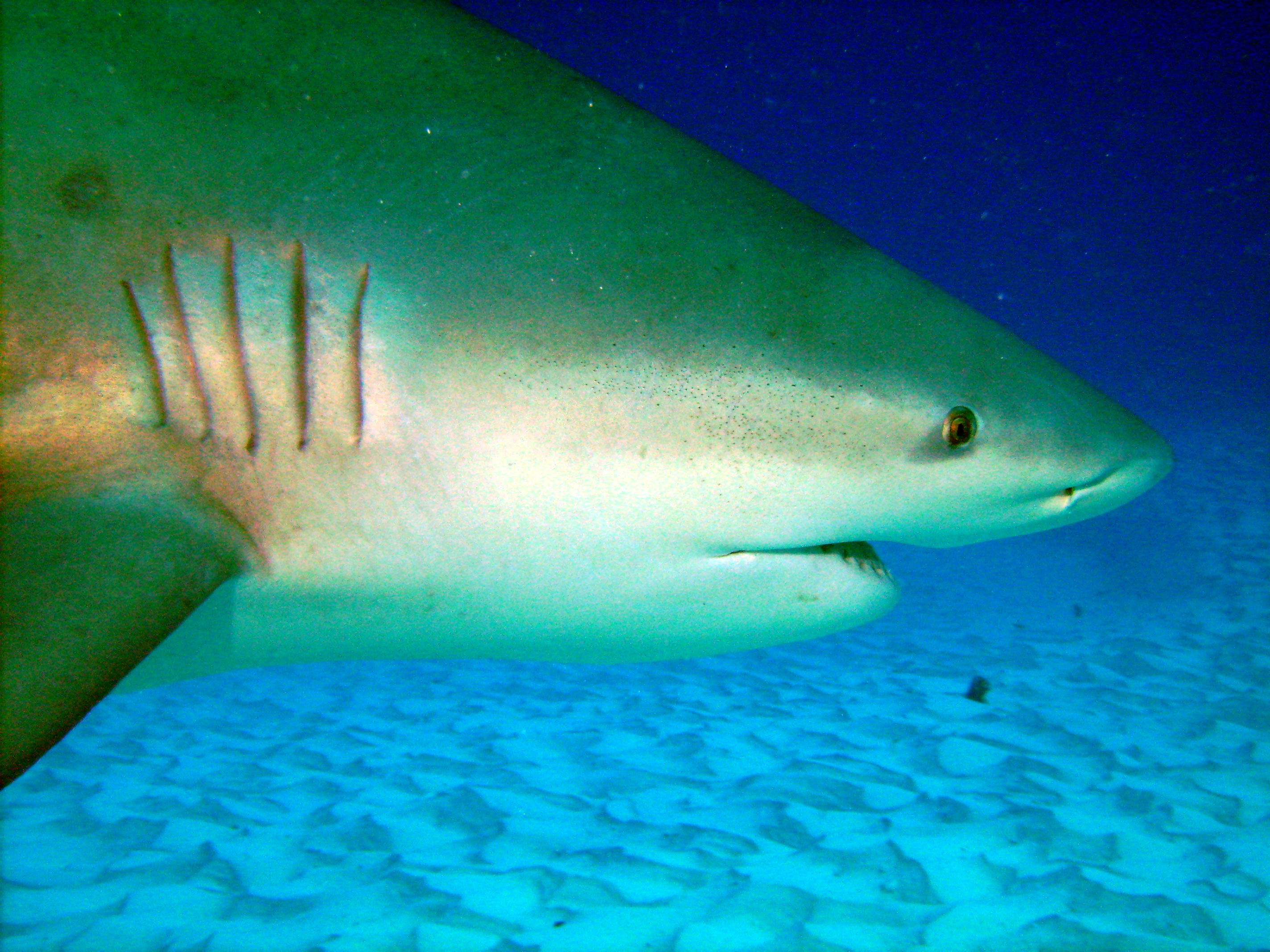 English: Picture of a bull shark in Playa del ...